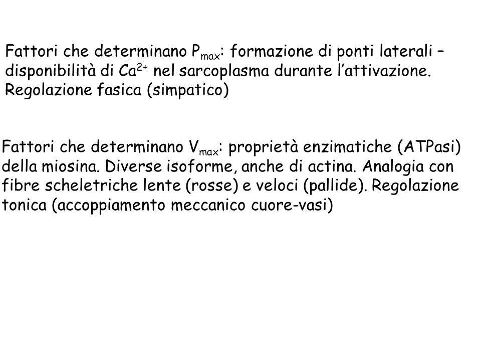 Fattori che determinano P max : formazione di ponti laterali – disponibilità di Ca 2+ nel sarcoplasma durante lattivazione. Regolazione fasica (simpat