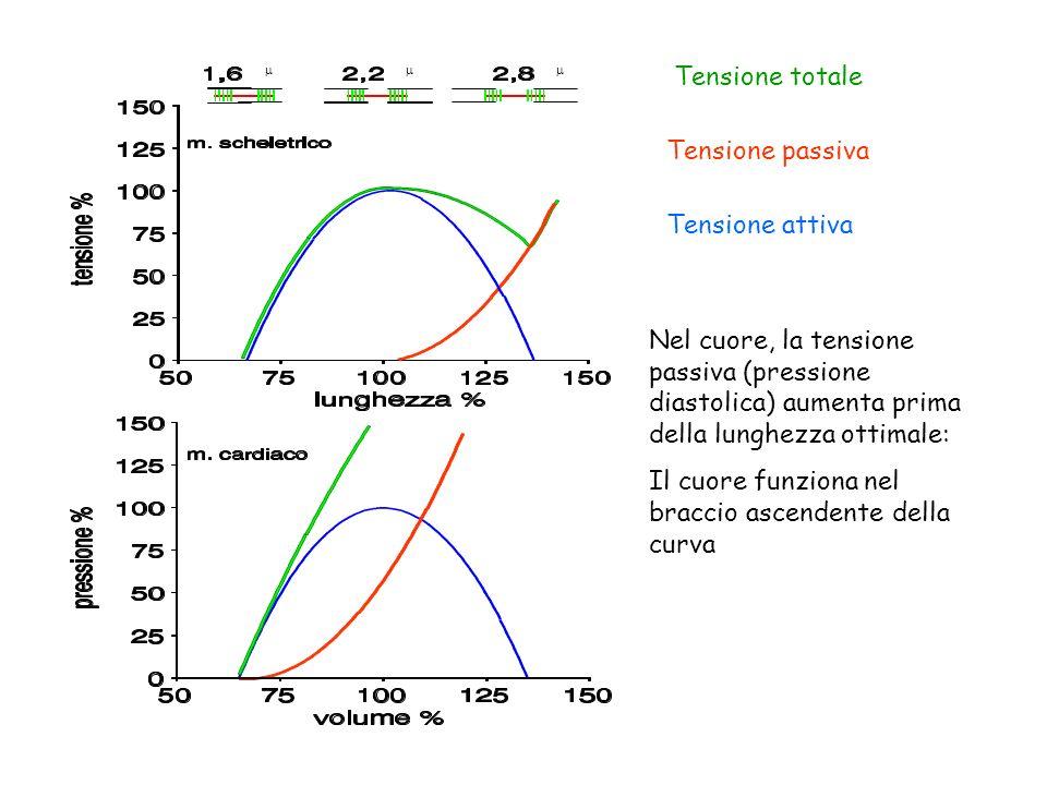 Tensione totale Tensione passiva Tensione attiva Nel cuore, la tensione passiva (pressione diastolica) aumenta prima della lunghezza ottimale: Il cuor
