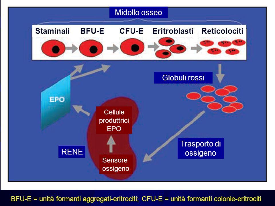 BFU-E = unità formanti aggregati-eritrociti; CFU-E = unità formanti colonie-eritrociti Midollo osseo StaminaliEritroblastiBFU-ECFU-EReticolociti Globu