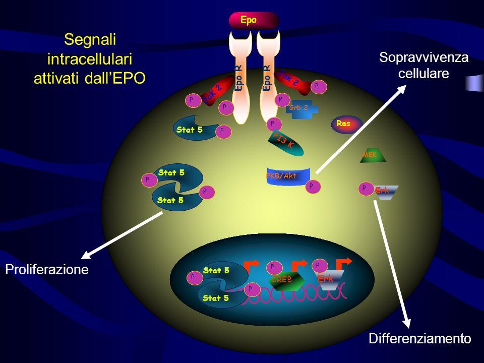 P Epo R JaK 2 Stat 5 P P P P Epo Jak 2 P P Ras Grb 2 MEK P PI3 K Stat 5 P P PKB/Akt P CREB P Erk P P Segnali intracellulari attivati dallEPO Prolifera