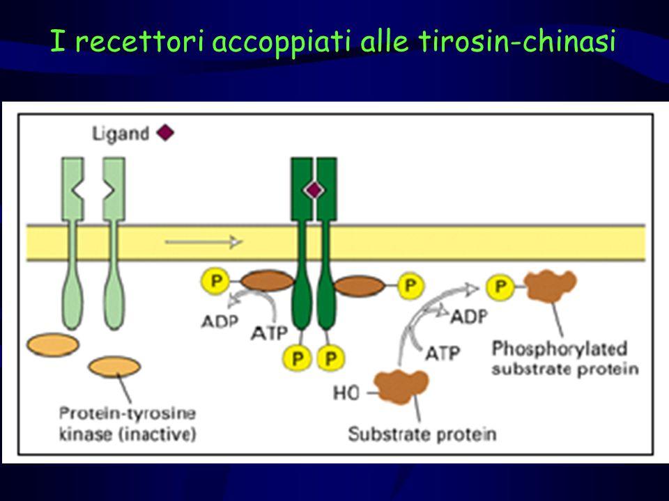 Ormone della crescita Dominio extracellulare del recettore del GH Intracellulare Extracellulare Recettore dellOrmone della Crescita Legandosi al recettore porta alla dimerizzazione delle subunità recettoriali per cross fosforilazione -OPO 3 = = O 3 PO-