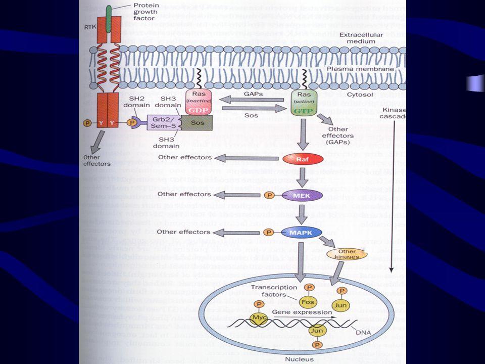 Schema di funzionamento dellormone della crescita