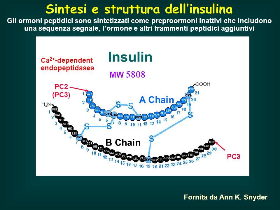 Regolazione della secrezione di insulina Na + K+K+ K+K+ K+K+ K+K+ VmVm GLUT2 Ca 2+ Voltage-gated Ca 2+ channel KIR Pancreatic ß cell Insulin granules Ca 2+ - Fornita da Ann K.