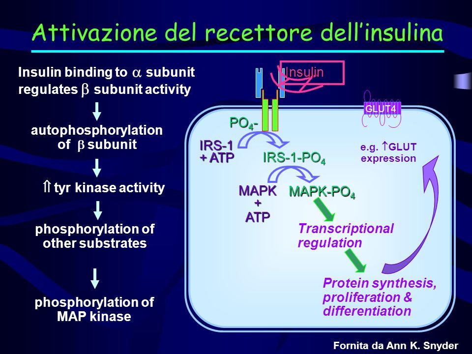 PO 4 PO 4 IRS-1 + ATP IRS-1 PO 4 Insulin GLUT4 glycogen synthase protein phosphatase-1 phosphorylase kinase phosphorylase + + - - Glycogen deposition Insulin binding to subunit regulates subunit activity autophosphorylation of subunit phosphorylation of other substrates tyr kinase activity phosphorylation of MAP kinase Insulin receptor signaling Attivazione del recettore dellinsulina