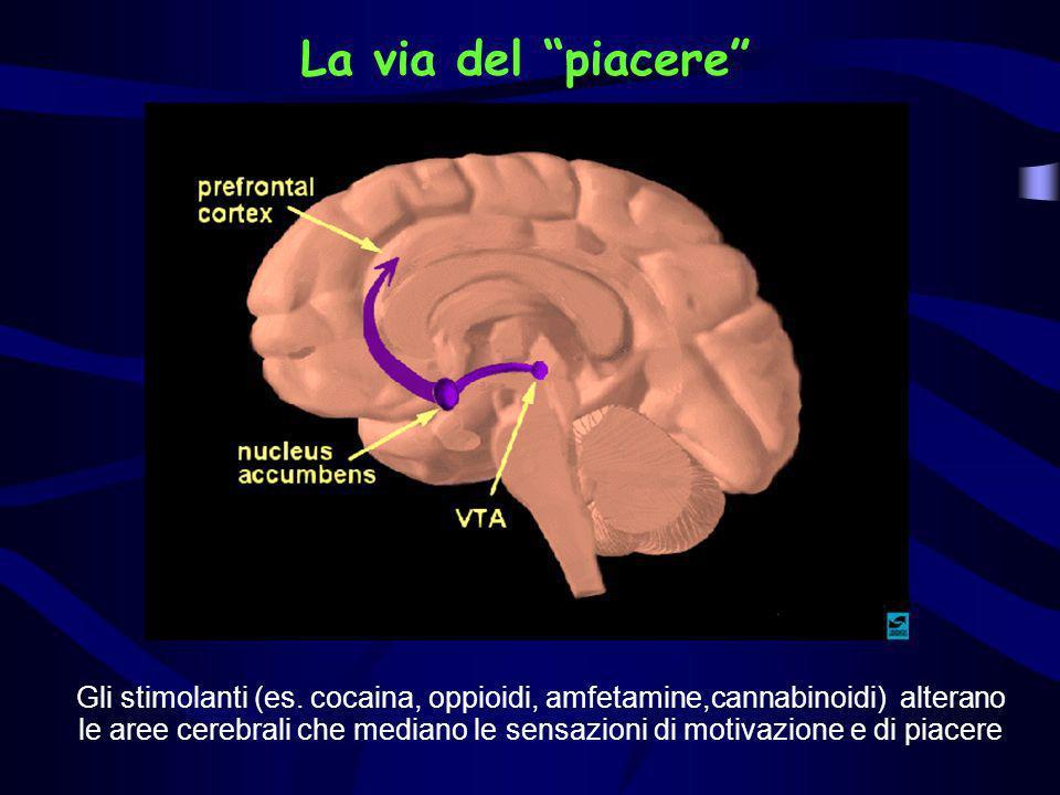 La via del piacere Gli stimolanti (es. cocaina, oppioidi, amfetamine,cannabinoidi) alterano le aree cerebrali che mediano le sensazioni di motivazione