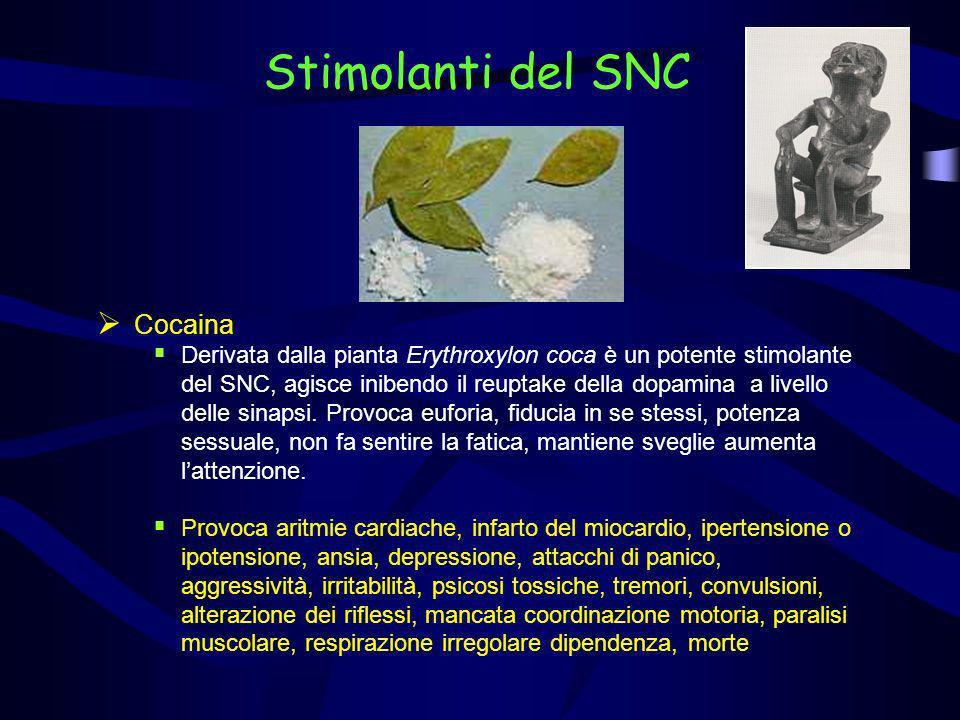 Stimolanti del SNC Cocaina Derivata dalla pianta Erythroxylon coca è un potente stimolante del SNC, agisce inibendo il reuptake della dopamina a livel