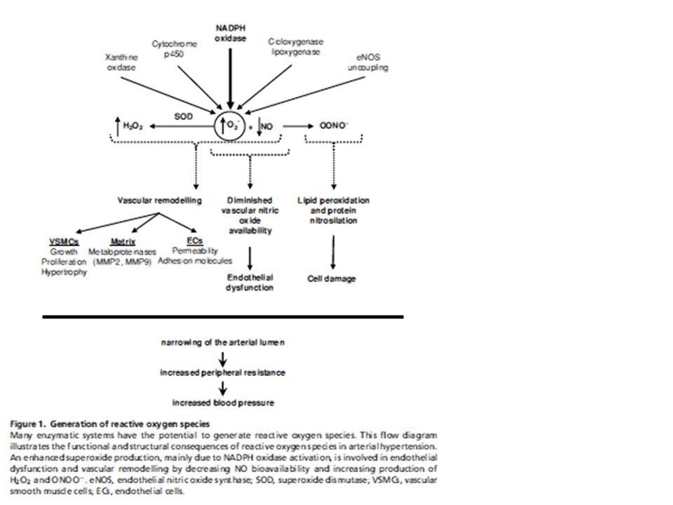 La somministrazione prolungata di vasodilatatori nei ratti aumentava la capillarità.