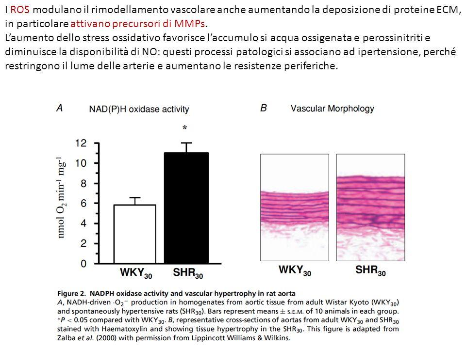 I ROS modulano il rimodellamento vascolare anche aumentando la deposizione di proteine ECM, in particolare attivano precursori di MMPs. Laumento dello