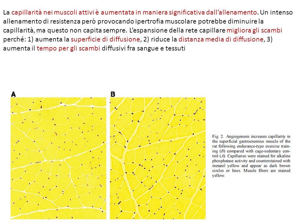 La capillarità nei muscoli attivi è aumentata in maniera significativa dallallenamento. Un intenso allenamento di resistenza però provocando ipertrofi