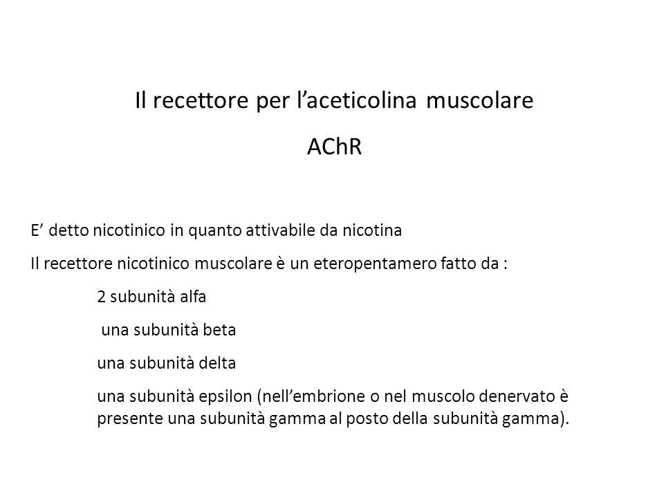 Il recettore per laceticolina muscolare AChR E detto nicotinico in quanto attivabile da nicotina Il recettore nicotinico muscolare è un eteropentamero