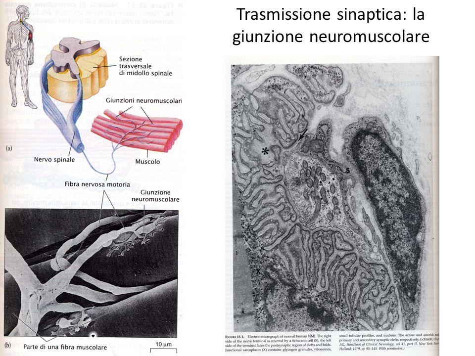 Trasmissione sinaptica: la giunzione neuromuscolare