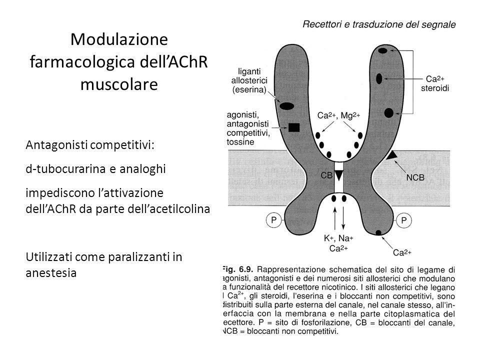 Modulazione farmacologica dellAChR muscolare Antagonisti competitivi: d-tubocurarina e analoghi impediscono lattivazione dellAChR da parte dellacetilc
