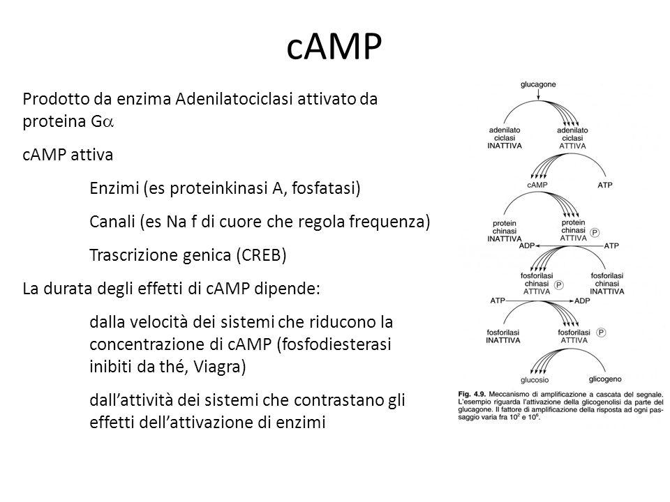 cAMP Prodotto da enzima Adenilatociclasi attivato da proteina G cAMP attiva Enzimi (es proteinkinasi A, fosfatasi) Canali (es Na f di cuore che regola
