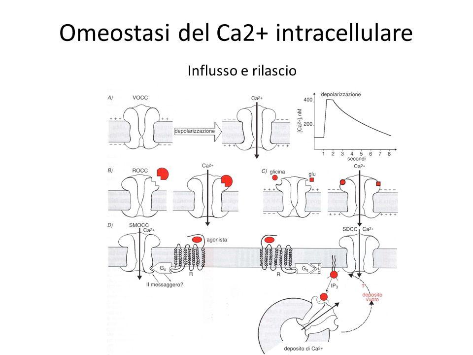 Omeostasi del Ca2+ intracellulare Influsso e rilascio