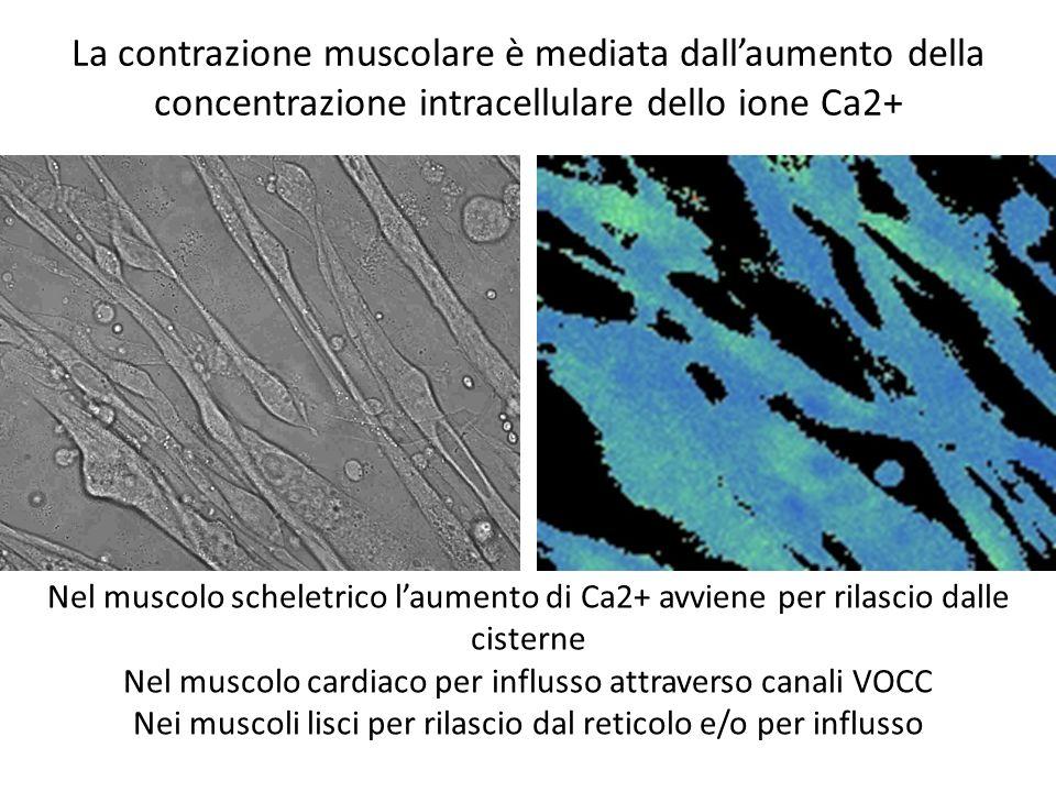 La contrazione muscolare è mediata dallaumento della concentrazione intracellulare dello ione Ca2+ Nel muscolo scheletrico laumento di Ca2+ avviene pe