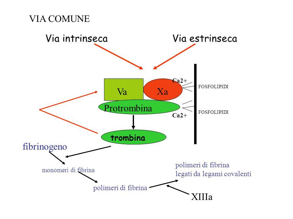 trombina polimeri di fibrina fibrinogeno monomeri di fibrina Via estrinsecaVia intrinseca polimeri di fibrina legati da legami covalenti XIIIa Xa Va P