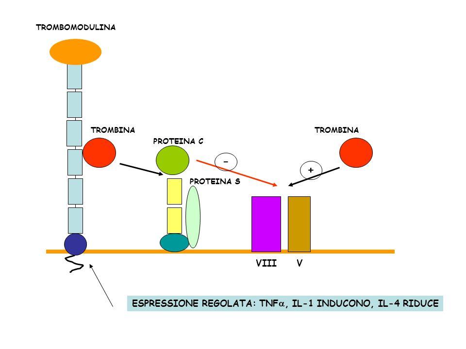 TROMBINA TROMBOMODULINA PROTEINA C PROTEINA S VIIIV - TROMBINA + ESPRESSIONE REGOLATA: TNF, IL-1 INDUCONO, IL-4 RIDUCE