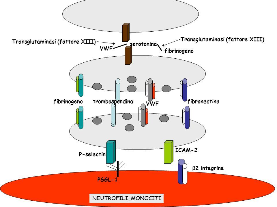 fibrinogenotrombospondina VWF fibronectina serotonina fibrinogeno VWF Transglutaminasi (fattore XIII) 2 integrine ICAM-2 P-selectin PSGL-1 NEUTROFILI,