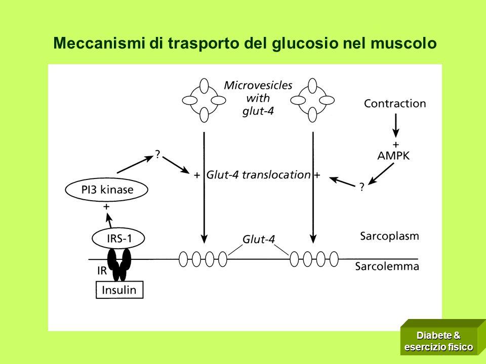 Meccanismi di trasporto del glucosio nel muscolo Diabete & esercizio fisico
