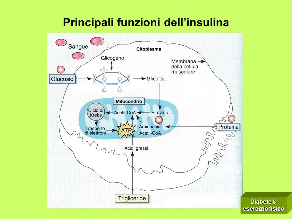 Principali funzioni dellinsulina Diabete & esercizio fisico