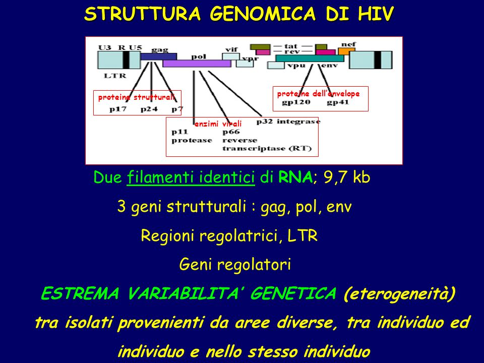 STRUTTURA GENOMICA DI HIV STRUTTURA GENOMICA DI HIV Due filamenti identici di RNA; 9,7 kb 3 geni strutturali : gag, pol, env Regioni regolatrici, LTR