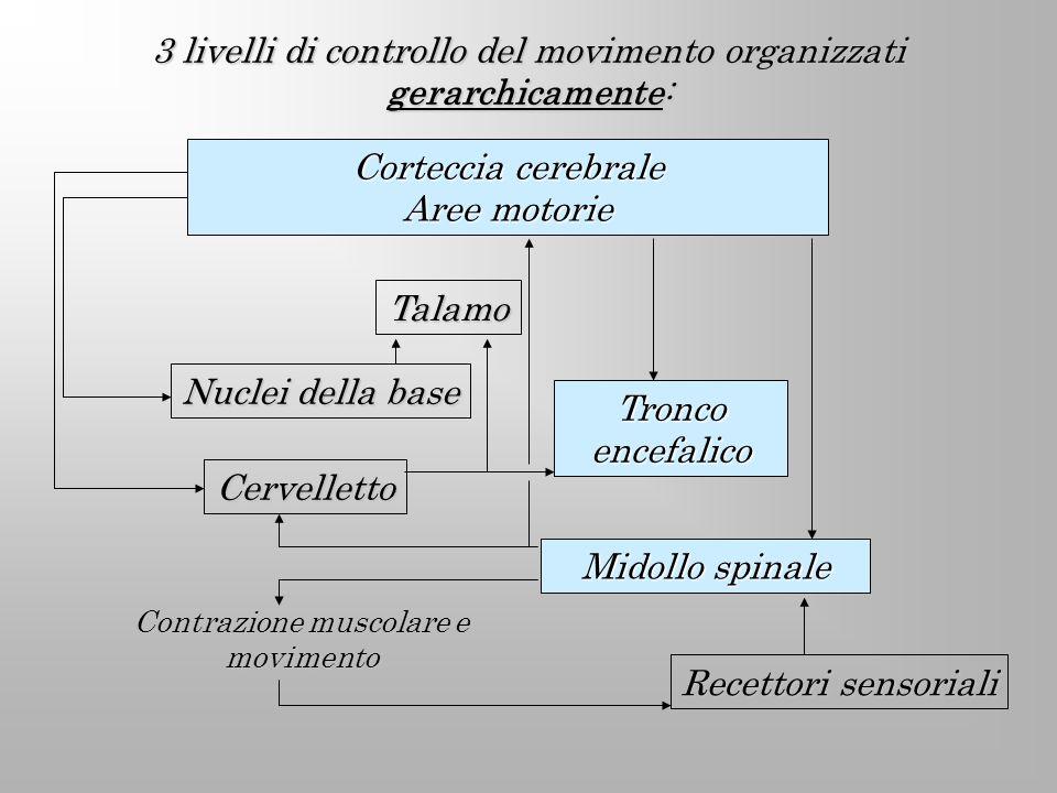 3 livelli di controllo del movimento organizzati gerarchicamente: Corteccia cerebrale Aree motorie Talamo Cervelletto Tronco encefalico Midollo spinal