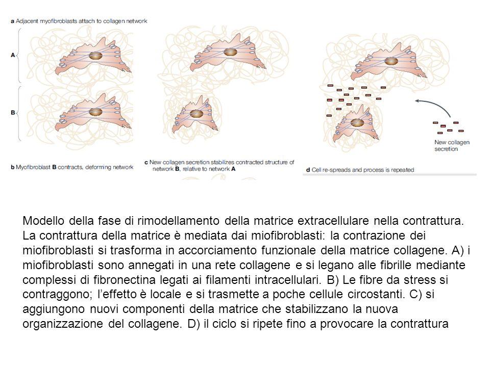 Modello della fase di rimodellamento della matrice extracellulare nella contrattura. La contrattura della matrice è mediata dai miofibroblasti: la con