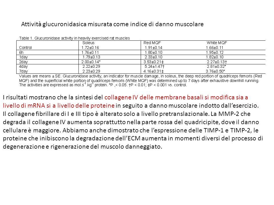 Attività glucuronidasica misurata come indice di danno muscolare I risultati mostrano che la sintesi del collagene IV delle membrane basali si modific