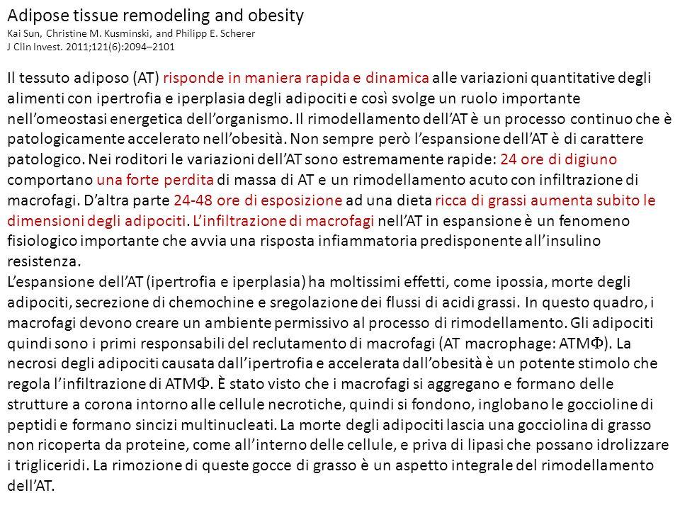 Adipose tissue remodeling and obesity Kai Sun, Christine M. Kusminski, and Philipp E. Scherer J Clin Invest. 2011;121(6):2094–2101 Il tessuto adiposo