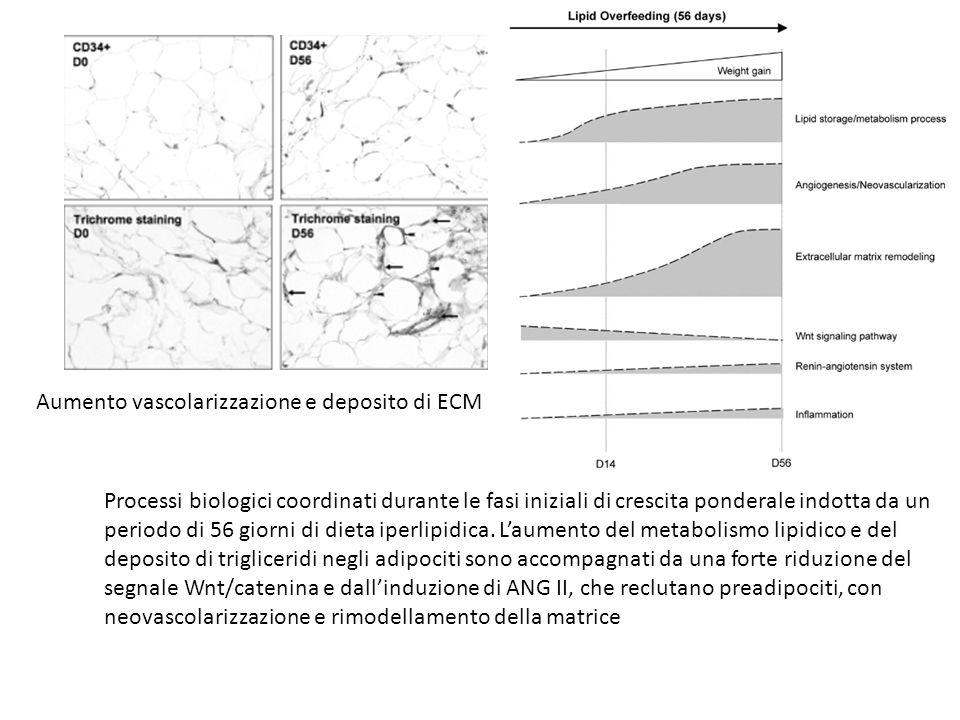 Aumento vascolarizzazione e deposito di ECM Processi biologici coordinati durante le fasi iniziali di crescita ponderale indotta da un periodo di 56 g