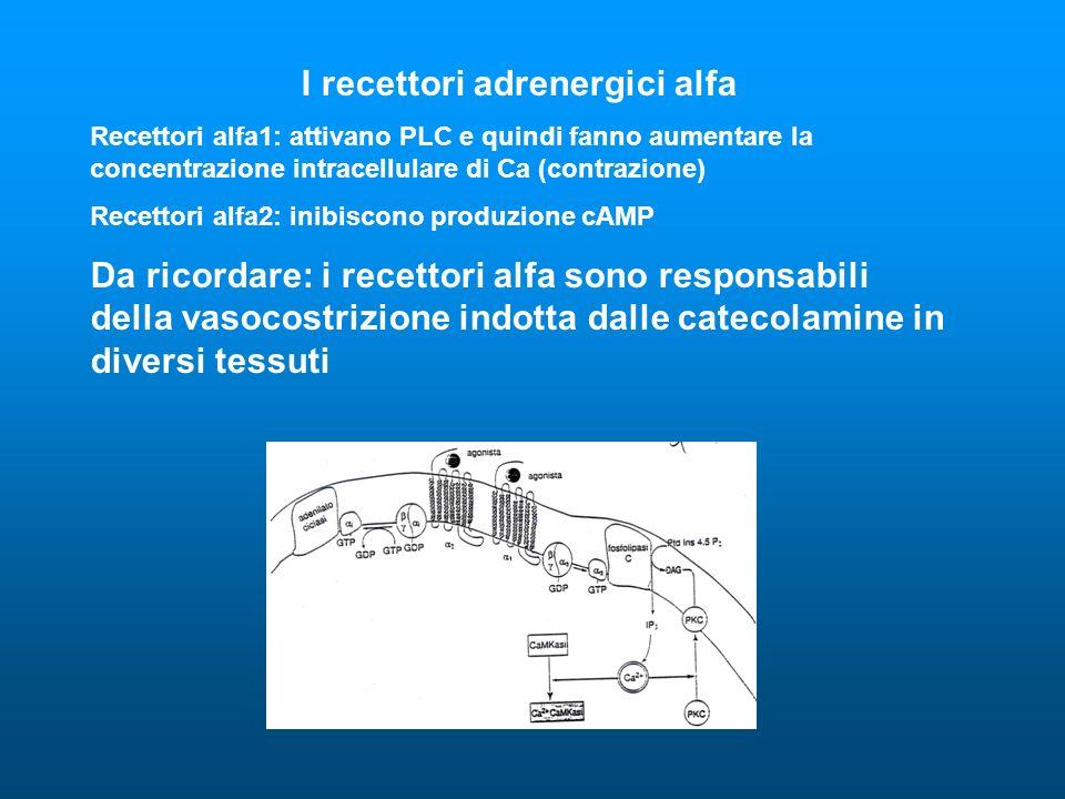 I recettori adrenergici alfa Recettori alfa1: attivano PLC e quindi fanno aumentare la concentrazione intracellulare di Ca (contrazione) Recettori alfa2: inibiscono produzione cAMP Da ricordare: i recettori alfa sono responsabili della vasocostrizione indotta dalle catecolamine in diversi tessuti
