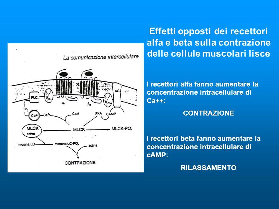 Effetti opposti dei recettori alfa e beta sulla contrazione delle cellule muscolari lisce I recettori alfa fanno aumentare la concentrazione intracellulare di Ca++: CONTRAZIONE I recettori beta fanno aumentare la concentrazione intracellulare di cAMP: RILASSAMENTO