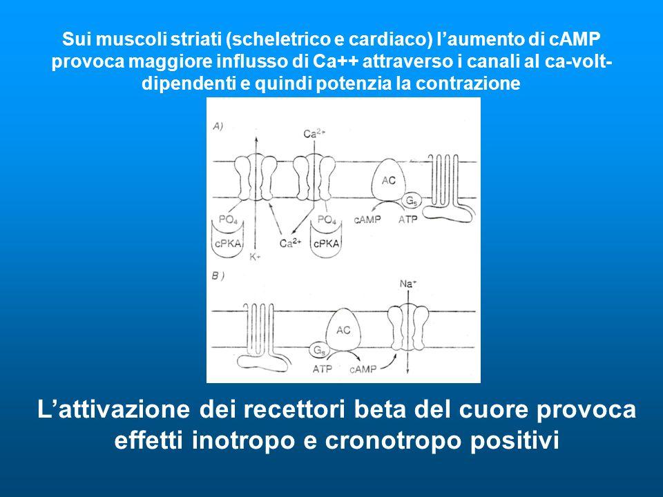 Sui muscoli striati (scheletrico e cardiaco) laumento di cAMP provoca maggiore influsso di Ca++ attraverso i canali al ca-volt- dipendenti e quindi potenzia la contrazione Lattivazione dei recettori beta del cuore provoca effetti inotropo e cronotropo positivi