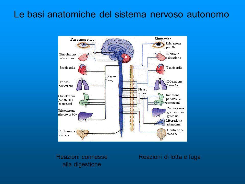 Le basi anatomiche del sistema nervoso autonomo Reazioni di lotta e fugaReazioni connesse alla digestione
