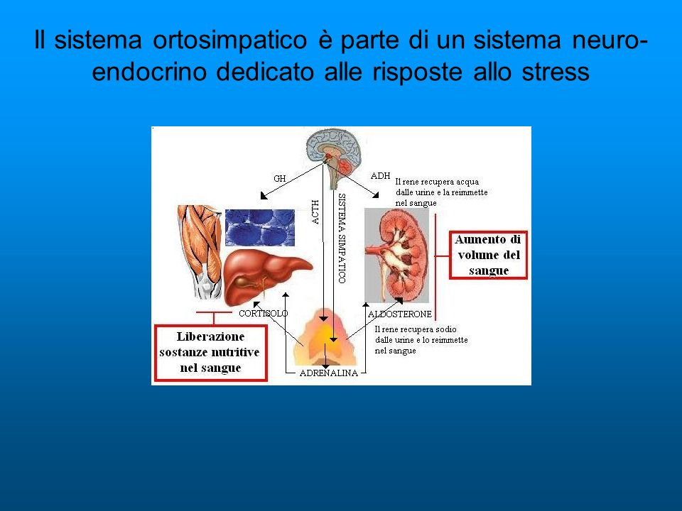 Il sistema ortosimpatico è parte di un sistema neuro- endocrino dedicato alle risposte allo stress