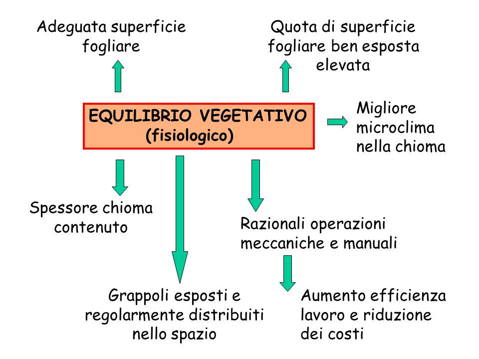 EQUILIBRIO VEGETATIVO (fisiologico) Adeguata superficie fogliare Quota di superficie fogliare ben esposta elevata Spessore chioma contenuto Grappoli e