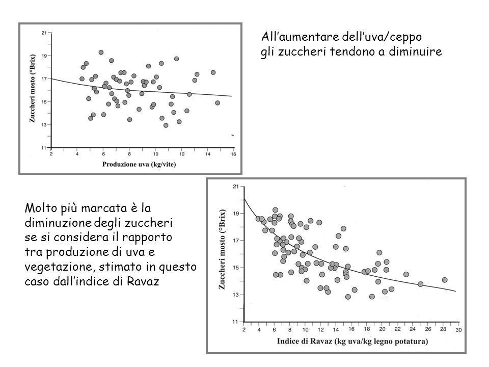 Allaumentare delluva/ceppo gli zuccheri tendono a diminuire Molto più marcata è la diminuzione degli zuccheri se si considera il rapporto tra produzio