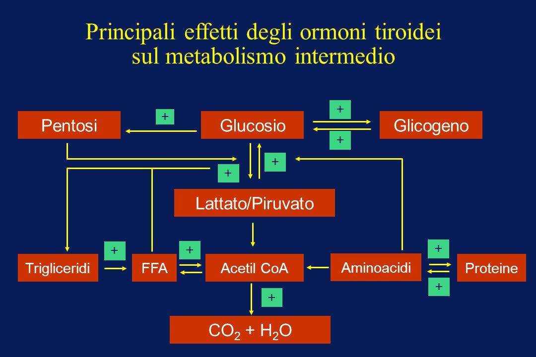 Principali effetti degli ormoni tiroidei sul metabolismo intermedio PentosiGlucosioGlicogeno Lattato/Piruvato + + + + + + + + + + Trigliceridi FFA Ace