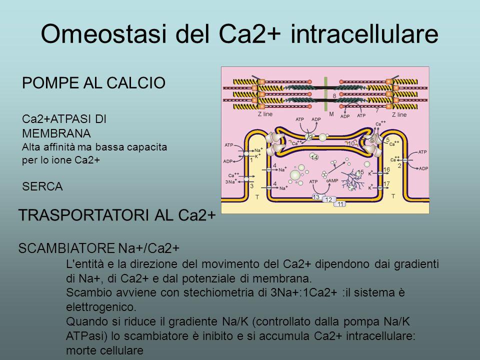 Omeostasi del Ca2+ intracellulare POMPE AL CALCIO Ca2+ATPASI DI MEMBRANA Alta affinità ma bassa capacita per lo ione Ca2+ SERCA TRASPORTATORI AL Ca2+