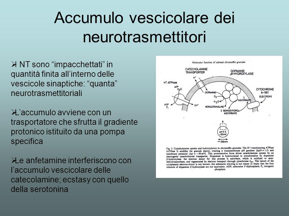 Accumulo vescicolare dei neurotrasmettitori I NT sono impacchettati in quantità finita allinterno delle vescicole sinaptiche: quanta neurotrasmettitor