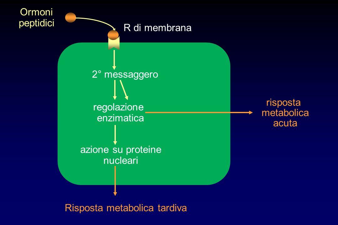 R di membrana 2° messaggero azione su proteine nucleari Risposta metabolica tardiva regolazione enzimatica risposta metabolica acuta Ormoni peptidici