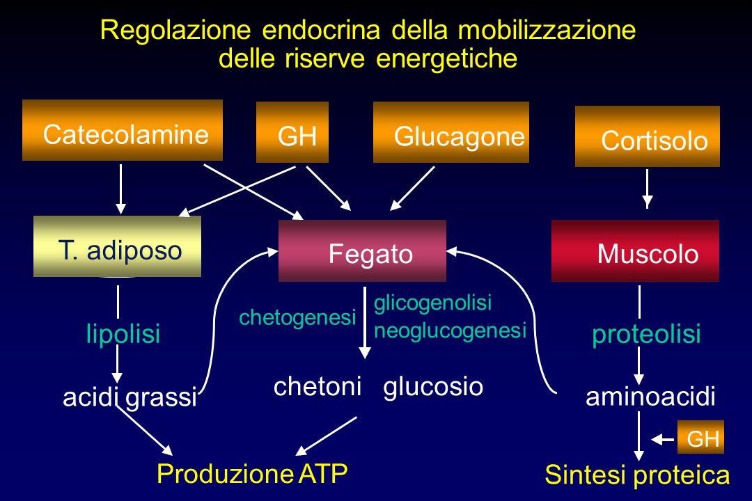 Regolazione endocrina della mobilizzazione delle riserve energetiche T. adiposo FegatoMuscolo lipolisi acidi grassi Produzione ATP glucosio aminoacidi