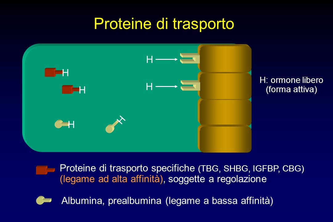 Proteine di trasporto H H H H H H H: ormone libero (forma attiva) Proteine di trasporto specifiche (TBG, SHBG, IGFBP, CBG) (legame ad alta affinità), soggette a regolazione Albumina, prealbumina (legame a bassa affinità) H H H H H