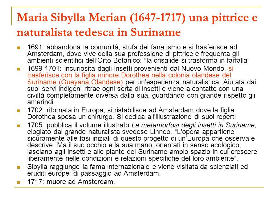 Maria Sibylla Merian (1647-1717) una pittrice e naturalista tedesca in Suriname 1691: abbandona la comunità, stufa del fanatismo e si trasferisce ad A