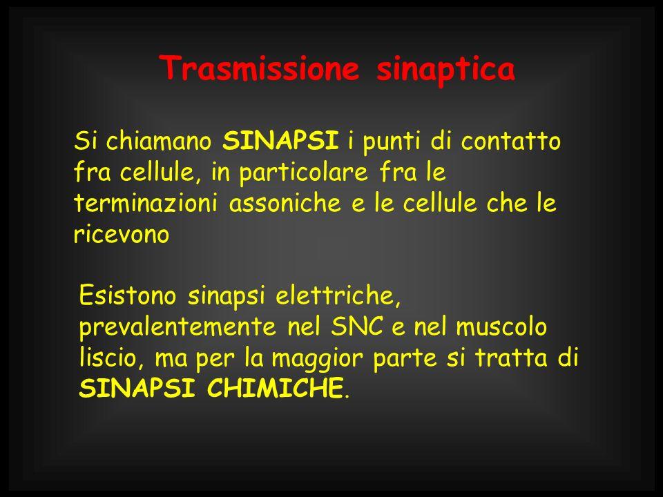 Le SINAPSI CHIMICHE sono costituite da uno spazio sinaptico, che, all arrivo dell impulso (P.d A.) viene invaso dalle molecole di un mediatore chimico, liberate dalla terminazione presinaptica l altra parte dello spazio sinaptico (membrana postsinaptica) contiene dei recettori specifici per il mediatore chimico il legame del mediatore con il recettore permette la trasmissione del segnale dalla cellula pre- a quella post- sinaptica.