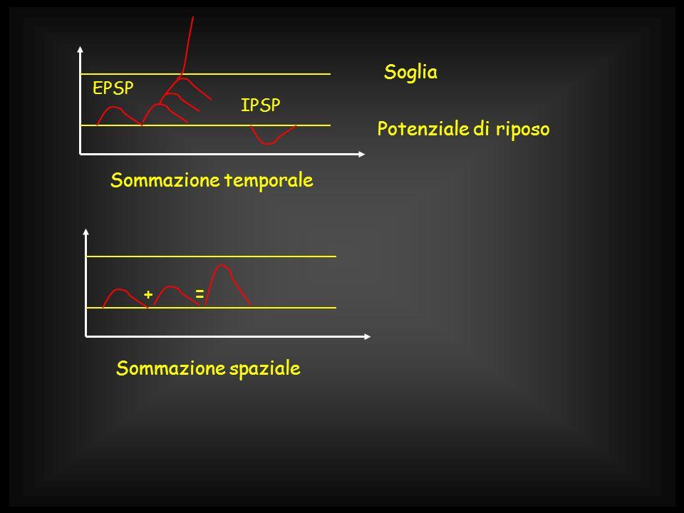 Potenziale di riposo Soglia EPSP IPSP += Sommazione temporale Sommazione spaziale