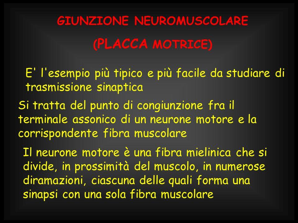 L insieme di un neurone motore e di tutte le fibre muscolari da esso innervate costituisce l unità motoria, che è l elemento unitario per la regolazione della contrazione muscolare