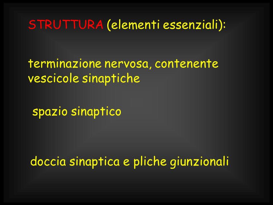 STRUTTURA (elementi essenziali): terminazione nervosa, contenente vescicole sinaptiche spazio sinaptico doccia sinaptica e pliche giunzionali