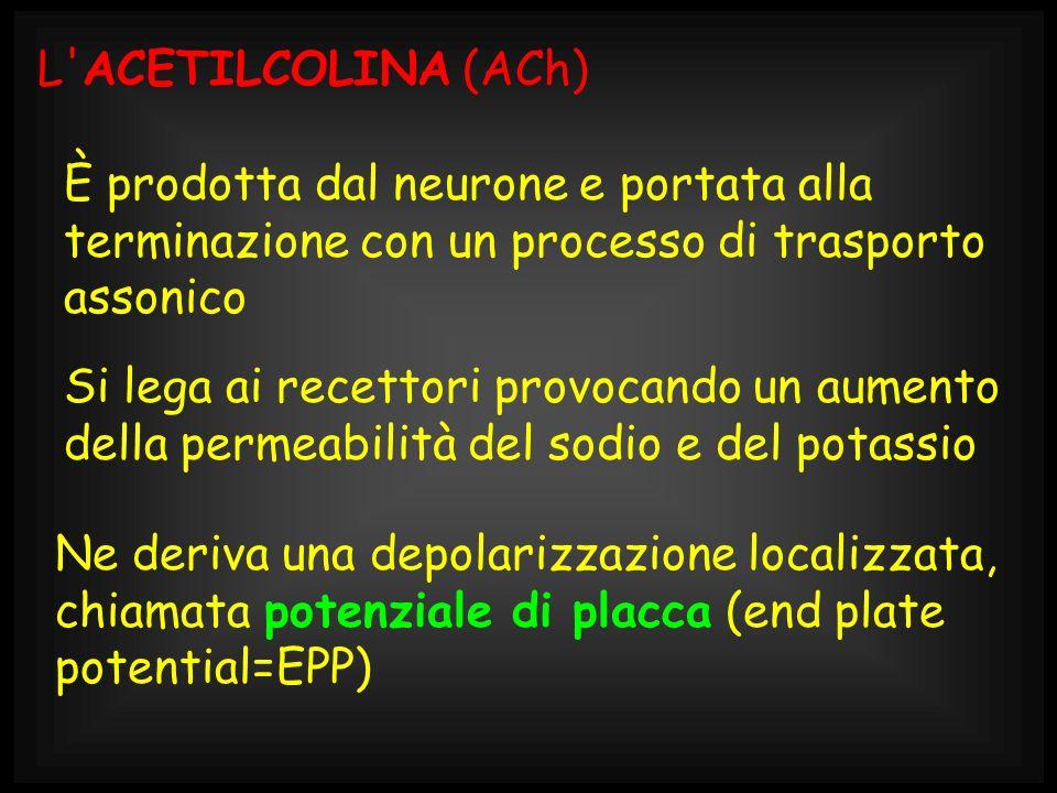 L'ACETILCOLINA (ACh) È prodotta dal neurone e portata alla terminazione con un processo di trasporto assonico Si lega ai recettori provocando un aumen