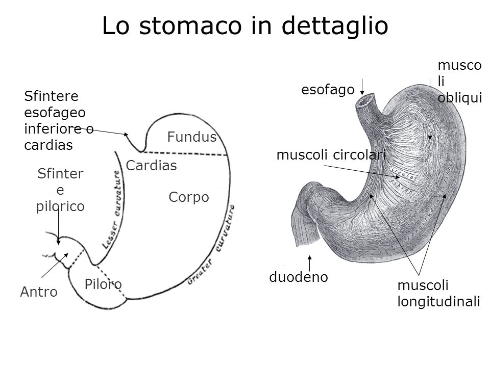 Lo stomaco in dettaglio Fundus Sfinter e pilorico Corpo Piloro Cardias Antro muscoli longitudinali muscoli circolari esofago duodeno Sfintere esofageo